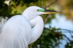 Great Egret (breeding adult) (tspine) Tags: gatorland greategret