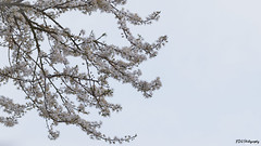 Tree of heaven (bdg-photography) Tags: white tree heaven minimalistic branch leaves leaf corner sky outside nature flower flowers naturephotography natur