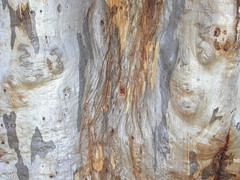 Eucalyptus rossii Scribbly gum bark with shimmer