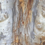 "Eucalyptus rossii Scribbly gum bark with shimmer <a style=""margin-left:10px; font-size:0.8em;"" href=""http://www.flickr.com/photos/61627737@N03/46468969331/"" target=""_blank"">@flickr</a>"
