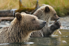 Mom & Cub (PamsWildImages) Tags: grizzlybear nature naturephotographer wildlife wildlifephotographer pamswildimages pammullins britishcolumbia canada canon