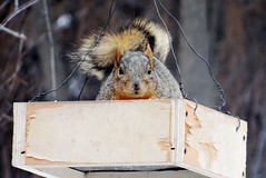 Winter squirrel. (EcoSnake) Tags: squirrels easternfoxsquirrel wildlife winter birdfeeder idahofishandgame naturecenter