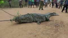crocodile responsible for many lives captured and released to a safe zone. Humans can be forgiving (I_Am A Kid) Tags: animal safari kids video elephant for i am a kid channel lesson