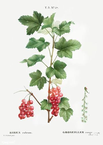 Redcurrant (Ribes rubrum) illustration from Traité des Arbres e