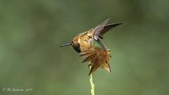 Allen's Hummingbird (Bob Gunderson) Tags: allenshummingbird birds california goldengatepark hummingbirds northlake northerncalifornia sanfrancisco selasphorussasin
