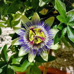 Blue Passiflora (MAKER Photography) Tags: blue passiflora flower garden plant nature green leaves smartphone phone oneplus 6 wall