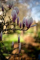 Vann Garden (tonybill) Tags: march smctakumar50mmf14 sonya7iii spring sunshine surrey vann garden