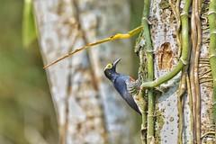 Cuenca del río Guatiquia (jhonfredyravesalazar) Tags: colombia meta villavicencio guatiquia birds avistamiento aves pajariar nikon sigma