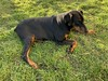 Doberman Pinscher Gabbana - In The Grass (firehouse.ie) Tags: fantasticnature nature gabbana dogs dog girl female pinscher pinschers dobermanns dobermans dobermann doberman dobies dobie dobeys dobey dobes dobe