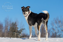 Picture of the Day (Keshet Kennels & Rescue) Tags: adoption dog ottawa ontario canada keshet large breed dogs animal animals pet pets field nature photography husky mix pose blue sky winter snow