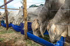 Alf 0007 - 1368 (Alf Ribeiro) Tags: agribusiness agriculture animal brazil brazilian mato nelore rural southeast work america beef bovine bull cattle confinement countryside cow domestic domesticated environment farm farming farmland field food grosso herd land livestock mammal meadow natural nature outdoor pasture plastic production quadruped raising ranch ruminant south steer white young
