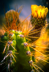 Peru, Colca canyon : Cactus #1 (foto_morgana) Tags: analogphotography analogefotografie cactus chivay colcacanyon fujiprovia100f lightroom nature nikoncoolscan outdoor peru photographieanalogue southamerica tourism travel travelexperience vuescan