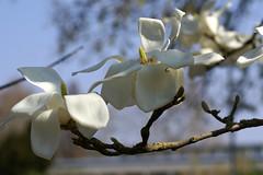 Magnolie, Kobushi- / Kobushi magnolia (Magnolia kobus) (HEN-Magonza) Tags: botanischergartenmainz mainzbotanicalgardens rheinlandpfalz rhinelandpalatinate deutschland germany frühling spring flora magnolie kobushimagnolie kobushimagnolia magnoliakobus