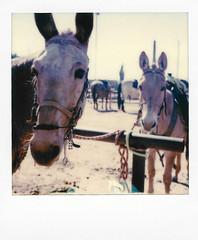mules at filly's (EllenJo) Tags: instantfilm polaroidoriginals theimpossibleproject impossibleproject instant arizona az march 2019 ellenjo sx70 polaroid daytriptoapachetrail apachetrail sonorandesert apachejunction fillysroadhouse apachejunctionarizona horses mules