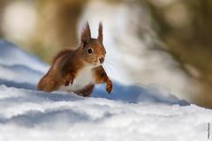 Red squirrel (Mary Bassani) Tags: squirrel snow scoiattolo suiza switzerland wildlifephotographer winter wild animalplanet animallovers mammal svizzera engadina canonwildlifephotographer running ardilla aroundtheworld
