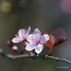 Fleurs du printemps (jpto_55) Tags: fleur proxi bokeh xt20 fuji kiron105mmf28macro kironlens hautegaronne france