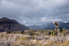 P1160779 (db917) Tags: desert cactus nevada mountains vegas travel
