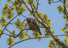 Steenuil / Athene Noctua (m.ritmeester) Tags: ngc naturelovers natuur nederland utrecht steenuil lucht bruin blauw bomen groen geel ue