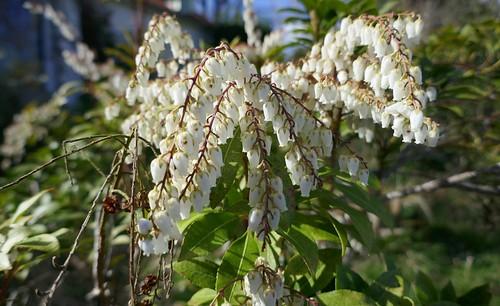 Au jardin, Andromède du Japon (Pieris japonica), Bosdarros, Béarn, Pyrénées Atlantiques, Aquitaine, France.
