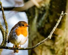 Robin in trees 2 (Johns 1st bestist photos) Tags: robin bird birds wildlife britishbirds wildlifephotography redbrest trees fujifilm xt1 longlens closeup perch beak lightanddark photo colour nature naturalworld