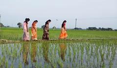பொங்கலோ பொங்கல் !!! Happy Pongal (Ezhil Ramalingam) Tags: paddy paddyfields kamakkoor native pongal pooja celebrations