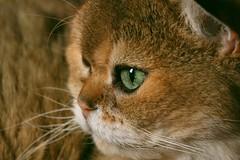 Window reflecting in his green eye (7 Blue Nights) Tags: cat window green eyes closeup face portrait side throughherlens look looking left light sweet cute pet eye