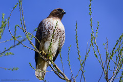 Broad-winged_Hawk_02 (DonBantumPhotography.com) Tags: wildlife nature birds animals broadwingedhawk raptor birdsofprey donbantumphotographycom donbantumcom