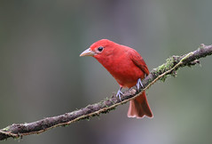 Summer Tanager (ashockenberry) Tags: summer tanager costa rica nature naturephotography natural national native majestic mountains perch outdoor landscape habitat travel tourism vacation wildlife wildlifephotography wild wilderness bird beauty beautiful red ashleyhockenberryphotography central america