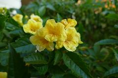 Yellow Trumpetbush - Gelbe Trompetenblume (ivlys) Tags: usa arizona tucson blüte blossom gelb yellow pflanze plant natur nature gelbetrompetenblume yellowtrumpetbush tecomastans ivlys