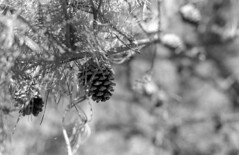 Overhead Cones (PositiveAboutNegatives) Tags: leica slr leicaflexsl leitz leicaflex leicar 50mm 50mmsummicron orangefilter film analog bw blackandwhitefilm foma fomapan fomapan100 rodinal pinecones bokeh