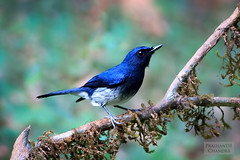 White-bellied Blue Flycatcher (Cyornis pallidipes) - Male (:: p r a s h a n t h ::) Tags: flycatcher whitebelliedblueflycatcher cyornispallidipes ganeshgudi 2018