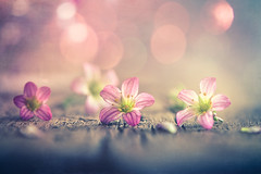 Pretty in pink (Ro Cafe) Tags: stilllife macro closeup flowers bokeh wood pink pastelcolors naturallight nikkor105mmf28 sonya7iii textured