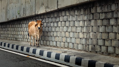 Is this the way to Amarillo? (Hindsited) Tags: dharamshala india road motorway cow animal lost
