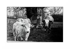Le Morvan (Punkrocker*) Tags: nikon s2 rf rangefinder nikkor 50mm 5014 sc film kodak tmax 400 nb bwfp monochrome campagne campaign morvan bourgogne france cows vaches