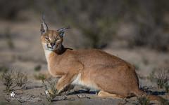Caracal (petraherdlitschke) Tags: africa animals südafrika wildlife caracal canon5dmark4 canonef70200 nature kgalagadi