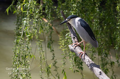 Black-crowned Night Heron (Nycticorax nycticorax) (George Wilkinson) Tags: blackcrowned night heron nycticoraxnycticorax cordoba spain wildlife bird canon 7d 400mm ii