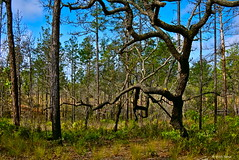 Old Hardwood Tree (surfcaster9) Tags: oak tree nature forest lumixg7 lumix20mmf17llasph outdoors florida woods