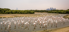 Flamingos at Ras Al Khor (\Nicolas/) Tags: flamingo flamingos ras al khor water wildlife wild animal sanctuary dubai dubaï creek harbor hide viewing area emirates bird watching