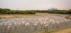 Flamingos at Ras Al Khor (\Nicolas/) Tags: flamingo flamingos ras al khor water wildlife wild animal sanctuary dubai dubaï creek harbor hide viewing area emirates bird watching