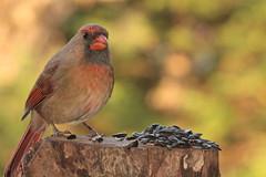 female cardinal 3 (Anne Davis 773) Tags: 2019365 24365 cardinal brd female