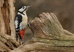 DSC09280 (simonbalk523) Tags: woodpecker miller wood forest parks birds wildlife animals nature sony photography sussex