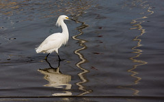 (seua_yai) Tags: northamerica california sanfrancisco thecity birdwatching bird egret reflection water seuayai sanfrancisco2019