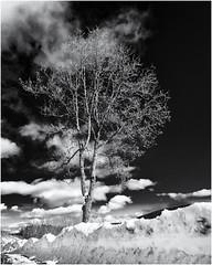 A Notion of Spring... (Ody on the mount) Tags: anlässe bäume em5ii fototour landschaft mzuiko918 omd olympus pflanzen schnee schwarzwald winter bw landscape monochrome sw snow trees weis white