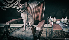 Where is my fur coat? (larisalyn (Rachel)) Tags: cat sphynx secondlife tattoo barber paint vintage
