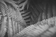Fern Leaves - Black & White-0135 (JayDeWinne) Tags: green fern leaves patterns colours leaf nature flora plant forest nopeople backgrounds botany beautyinnature vector abstract lushfoliage branchplantpart frond closeup freshness depth selectivefocus naturalpattern