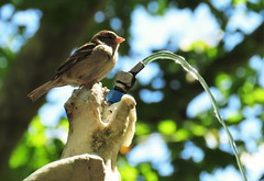 Pequeños mundos (carlos_ar2000) Tags: gorrion sparrow ave pajaro bird naturaleza nature animal fuente fountain agua water chorro jet dof montevideo uruguay