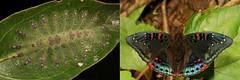 METAMORPHOSIS - Gaudy Baron (Euthalia lubentina, Limenitidinae, Nymphalidae) (John Horstman (itchydogimages, SINOBUG)) Tags: insect macro china yunnan itchydogimages sinobug entomology collage metamorphosis butterfly lepidoptera caterpillar larva baron nymphalidae limenitidinae euthalia lubentina euthalialubentina tweet fbbaw topf25