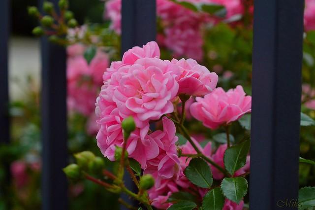 Обои Розы, Rose, Pink roses, Розовые розы картинки на рабочий стол, раздел цветы - скачать