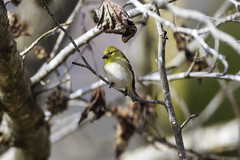 American Goldfinch '19 (R24KBerg Photos) Tags: americangoldfinch goldfinch bird yellow cute animals canon songbird perched winter nc northcarolina wintervillenc 2019 nature wings feather