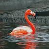 caribbean flamingo (Explore)